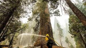 Riesenmammutbäume in Kalifornien von Waldbränden bedroht