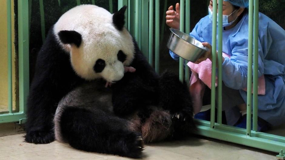 Huan Huan ist bereits Mutter von Yuan Meng, der vor rund vier Jahren in dem Zoo in der Loire-Gegend zur Welt kam und damals für großes Aufsehen sorgte.