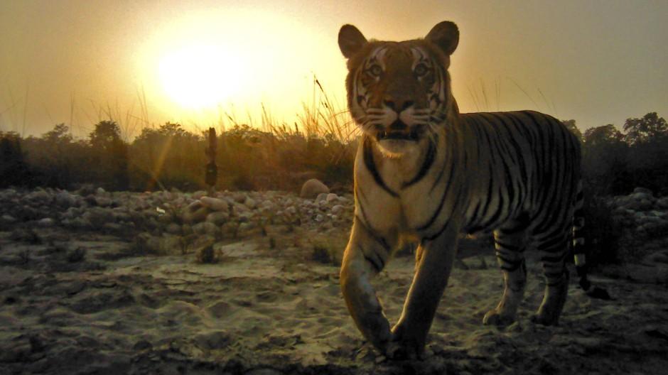 Dieser Tiger wurde in Nepal von einer automatischen Wildtierkamera fotografiert. Dort leben derzeit 235 Tiere, wie eine aktuelle Zählung ergab.