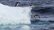 Besonders in der West-Antarktis schmilzt das Eis immer schneller – und damit auch der Lebensraum Adelie-Pinguine.