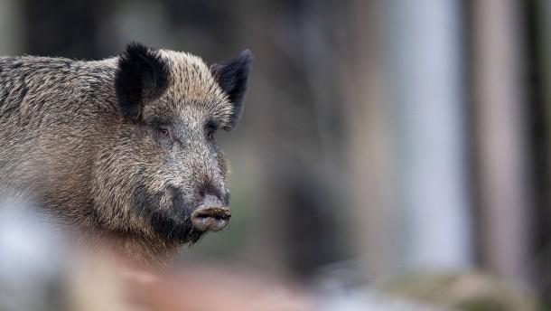 Zweiter Schweinepest-Fall nahe polnischer Grenze zu Deutschland