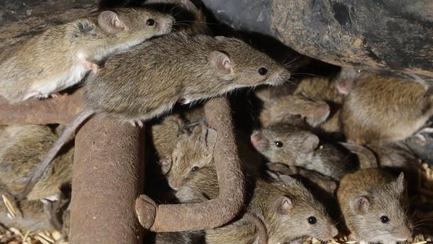 Gefängnis in Australien wegen Mäuseplage evakuiert