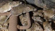 Wegen Mäuseplage: Gefängnis in Australien wird evakuiert