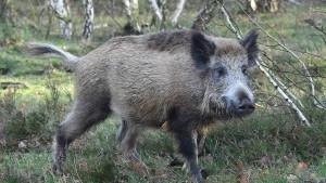 Es bleibt zunächst bei der Schonzeit für Wildschweine
