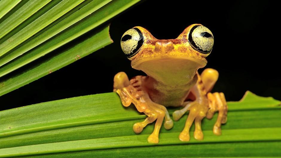 Durch die Abholzung der südamerikanischen Regenwälder ist der Lebensraum des Imbabura Laubfroschs (Hypsiboas pictuator) stark gefährdet.