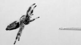 Springende Spinnen