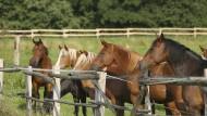 Geldbringer: Gemeinden wie Schlangenbad versprechen sich zusätzliche Einnahmen von einer Steuer für Pferde.