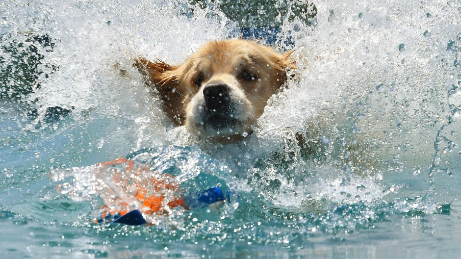 """Die Besitzer werfen das Lieblingsspielzeug der Hunde ins Wasser und die Tiere - hier Golden Retriever """"Yogi"""" - springen ihm hinterher."""