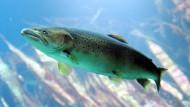 Auf den Lachs lauern viele Gefahren: Sie werden illegal gefangen oder sterben in Wasserturbinen.