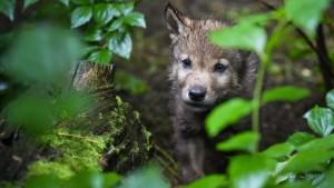Erstmals wieder Wolfsnachwuchs im Rheingau