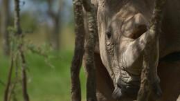 Nashörner aus der Retorte