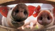 Deutschland ist zweitgrößter Schweinefleischexporteur