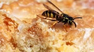 Hauptkampfzeit für aufdringliche Wespen