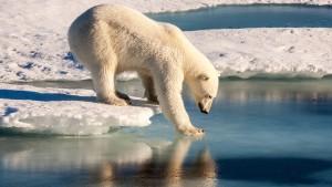 Eisbären ohne Eis