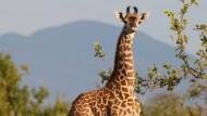 Große Kulleraugen und ein langer Hals: So kennt man sie, die Giraffe