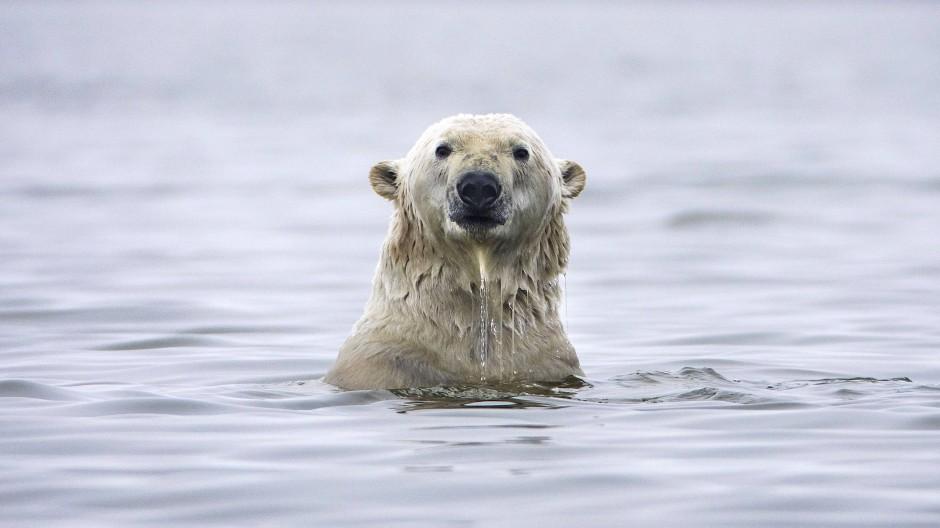 """Ein Eisbär im """"Arctic National Wildlife Refuge"""" schwimmt im Meer nahe der Stadt Kaktovik."""