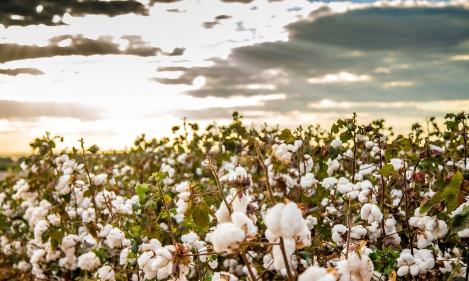Naturfaser in der Kritik: Baumwollanbau braucht nicht nur viel Wasser, es werden auch zahlreiche Pestizide eingesetzt.