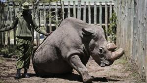 Forschern gelingt Etappensieg bei Rettung von Nashorn-Unterart
