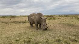 Nashorn-Wilderei legt wieder zu