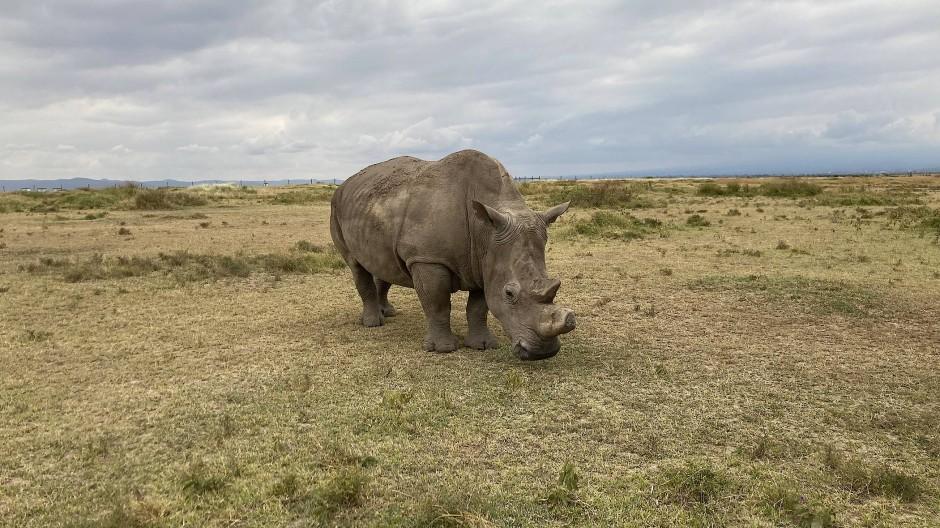 Fast ausgestorben: das Nördliche Breitmaulnashorn, hier in einem Reservat in Kenia