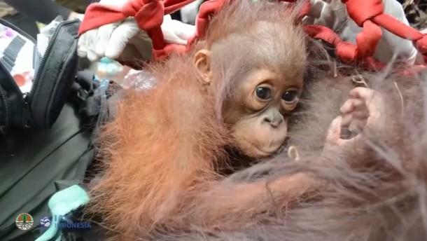 Orang-Utans nach Waldbrand wieder aufgepäppelt