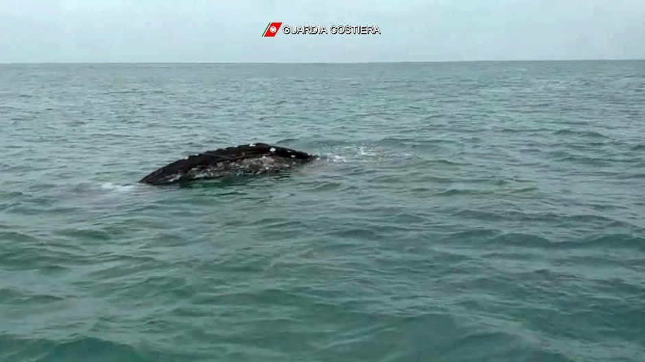 Foto der italienischen Küstenwache: Der acht Meter lange Wal wurde in den vergangenen Wochen bereits vor Italien beobachtet.