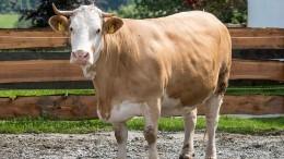 """Eine Kuh mit """"echter Persönlichkeit"""""""