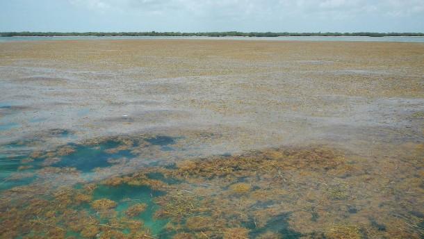 Größter Algenteppich im Atlantik entdeckt