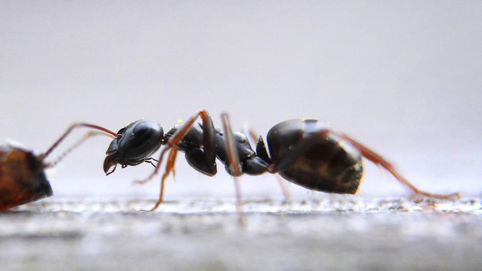 In den matriarchalischen Ameisenstaaten ist das Thema Geschlechtergerechtigkeit kein Problem.