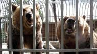 In Albanien werden Bären als Attraktion betrunken gemacht