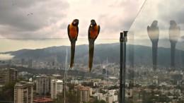 Wilde Aras betteln auf Caracas' Balkons