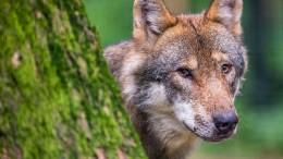 """Neue Arbeitsgruppe """"Wolf in Hessen"""" tagt erstmals"""
