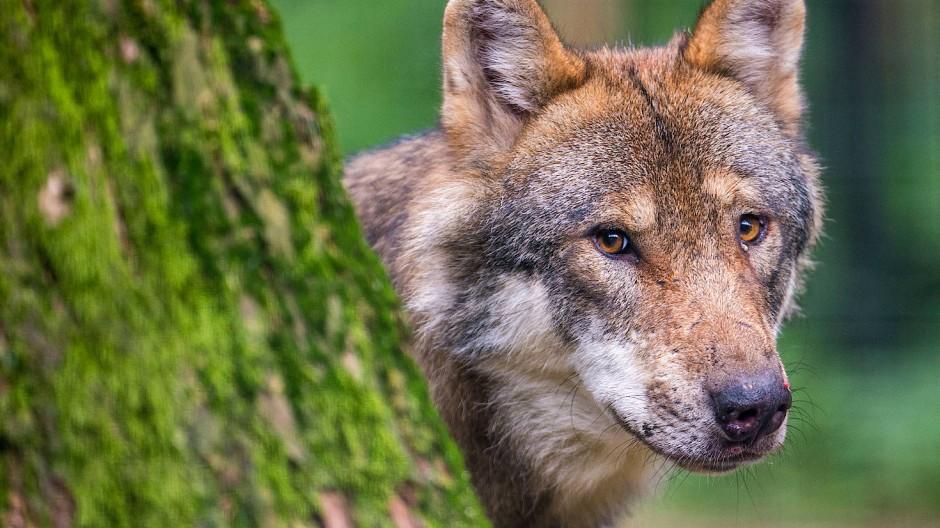Ein Wolf schaut hinter einem Baum in einem Wildpark hervor. Die zunehmende Zahl von Wölfen sorgt in Hessen für teils emotionale Diskussionen.