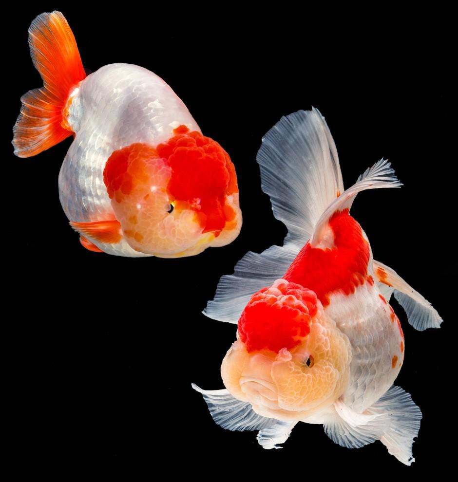 """Dass die Rückenflosse fehlt, betont die Eiform des Goldfischs links im Bild. Der """"Wen""""  hingegen hat auffällige Flossen (rechts), und dieser trägt himbeerartige Wucherungen auf dem Kopf, wie sie für einen Oranda oder Löwenkopf charakteristisch sind."""