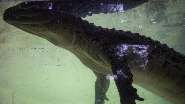 Alligator attackiert Mann im Überflutungsgebiet