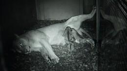 Drei neue Löwenbabys für eine bedrohte Art