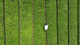 Matcha-Hype soll Japans Teebauern retten