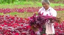 Spinat wird in Indien zum Trend