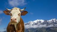 Würden Sie in diese Kuh investieren? Denken Sie an den leckeren Käse.