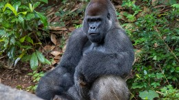 Gorilla-Männchen verletzt Pflegerin im Zoo von Madrid schwer