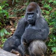 Ein Gorillamännchen im Zoo von Atlanta, Georgia (Symbolbild)