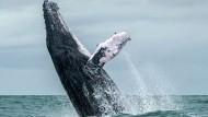 Auf gutem Weg, aber noch haben sich die Buckelwale nicht erholt.