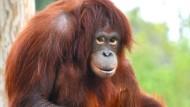 Waldschule für Orang-Utans
