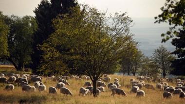 Der Hoherodskopf ist mit 764 Metern (und hinter dem Taufstein, 773 m) die zweithöchste Erhebung im Vogelsberg. An seinen Hängen ziehen Schafherden dahin.