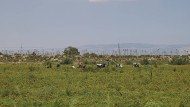 Erntehelfer während der Tomatenernte auf einem Tomatenfeld in der Nähe des kleinen Ortes Borgo Mezzanone (Apulien, Italien).
