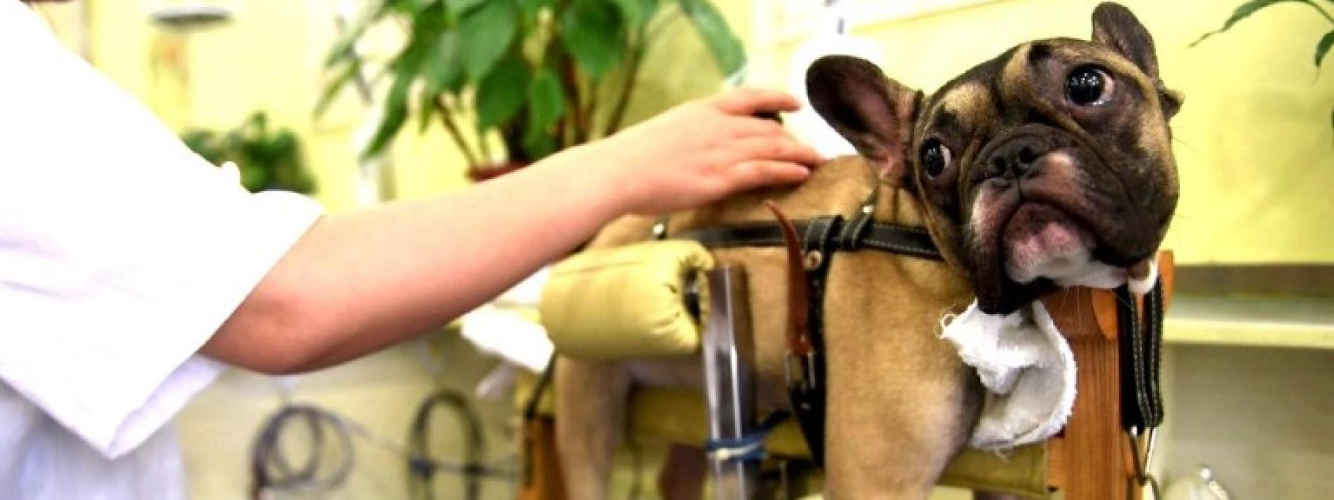Akupunktur für gelähmte Hunde