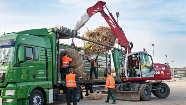 Baumverpflanzung - Eine 15 Meter hohe Deutsche Eiche wird in der Hamburger Baumschule Lorenz für den Transport zu einem Gastwirt in den Elsaß auf einen LKW verladen