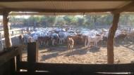 Das Rindvieh als Renditetreiber