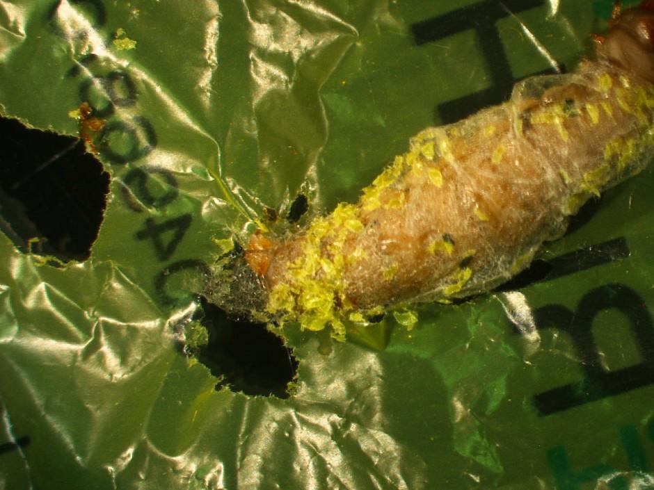 Zu schön um wahr zu sein? Die plastikfressende Raupe wurde in diesem Sommer als wissenschaftliche Sensation verkauft.