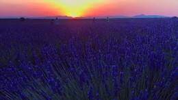 Lavendel-Felder werden zu romantischer Landschaft